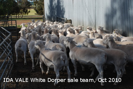 For Sale, Ida Vale Dorpers, White dorpers, white suffolks sheep