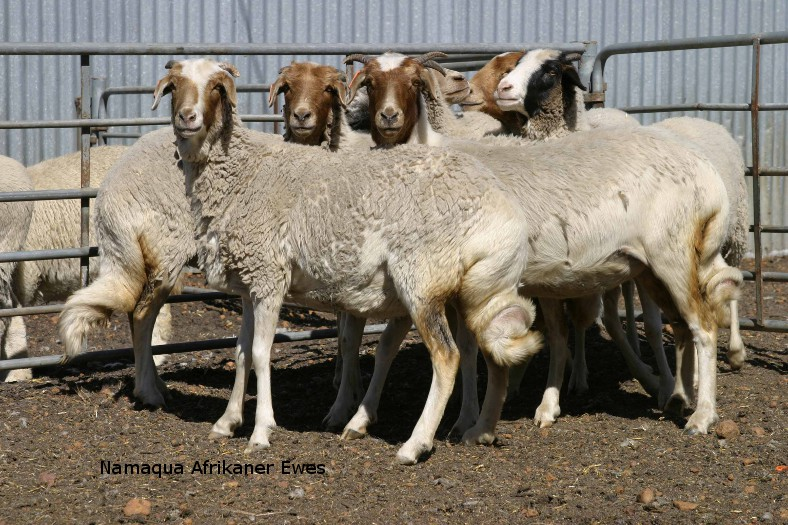 rare sheep breed namaqua afrikaner