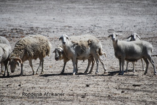 Rare breed sheep, ronderib afrikaner, ida vale, fat tail, shedding