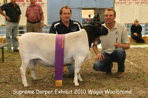 Woolarama, supreme, black dorper sheep, easy care